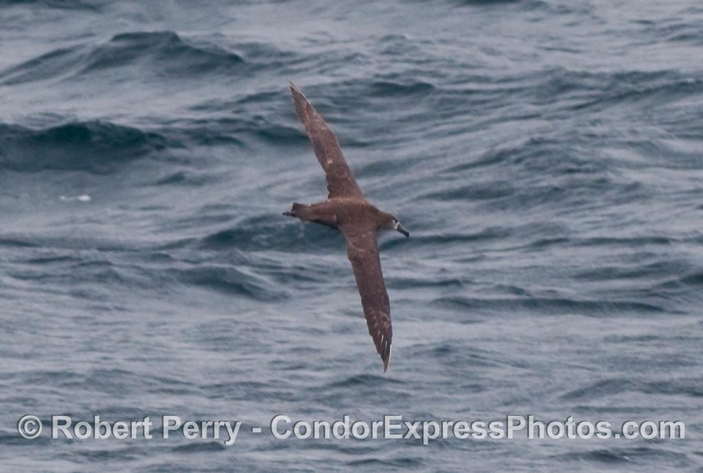 Black-Footed Albatross (Phoebastria nigripes) soaring.