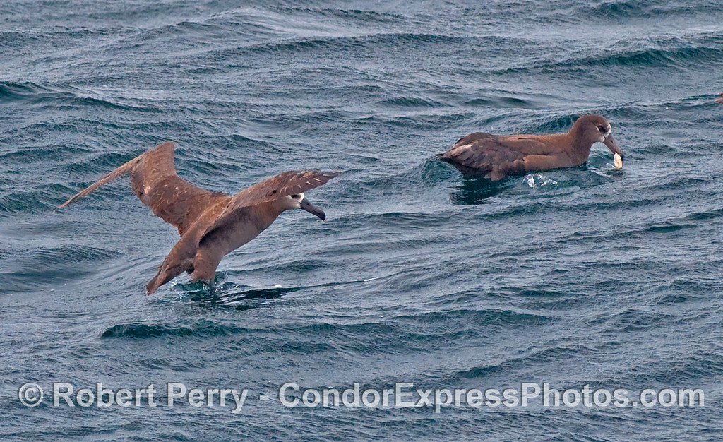 Two Black-Footed Albatross (Phoebastria nigripes) fight over a chunk of squid.