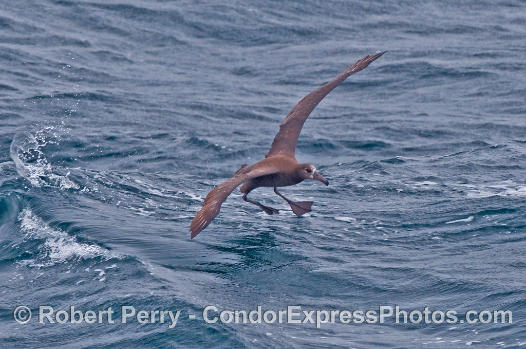 Prepare for splashdown - Black-Footed Albatross (Phoebastria nigripes).