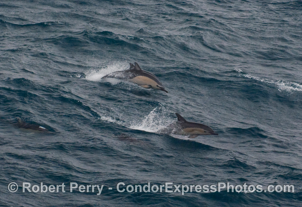Running with the waves, part of a herd of Short-Beaked Common Dolphins (Delphinus delphis).