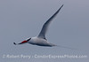 "Red-Billed Tropicbird (Phaethon aethereus) in flight east of the San Juan Seamount.  Click the ""Map This"" tab in the upper right to see the locations of photos."