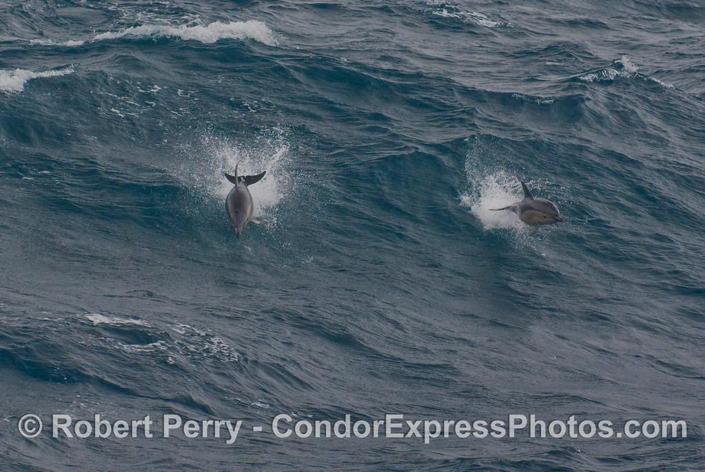 Two Short-Beaked Common Dolphins (Delphinus delphis) get airborn in front of a big open ocean swell.
