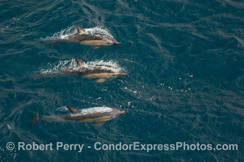 Three Short-Beaked Common Dolphins (Delphinus delphis) in blue, open ocean waters.