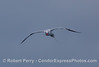 Red-Billed Tropicbird (Phaethon aethereus) flying directly at the camera.