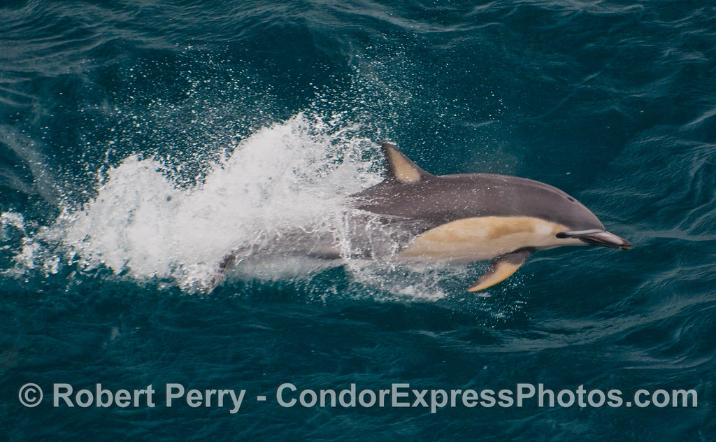 Close up portrait of a Short Beaked Common Dolphin (Delphinus delphis).