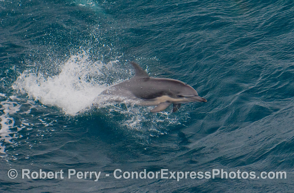 Half mammal, half torpedo - a Short-Beaked Common Dolphin (Delphinus delphis) gets airborn.