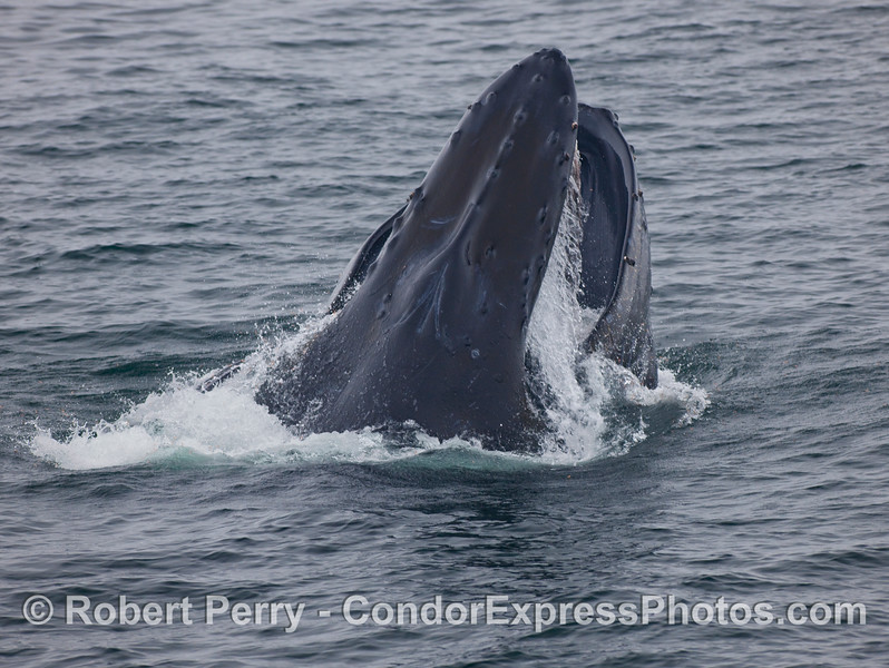 A big vertical lunge by a feeding Humpback Whale (Megaptera novaeangliae).