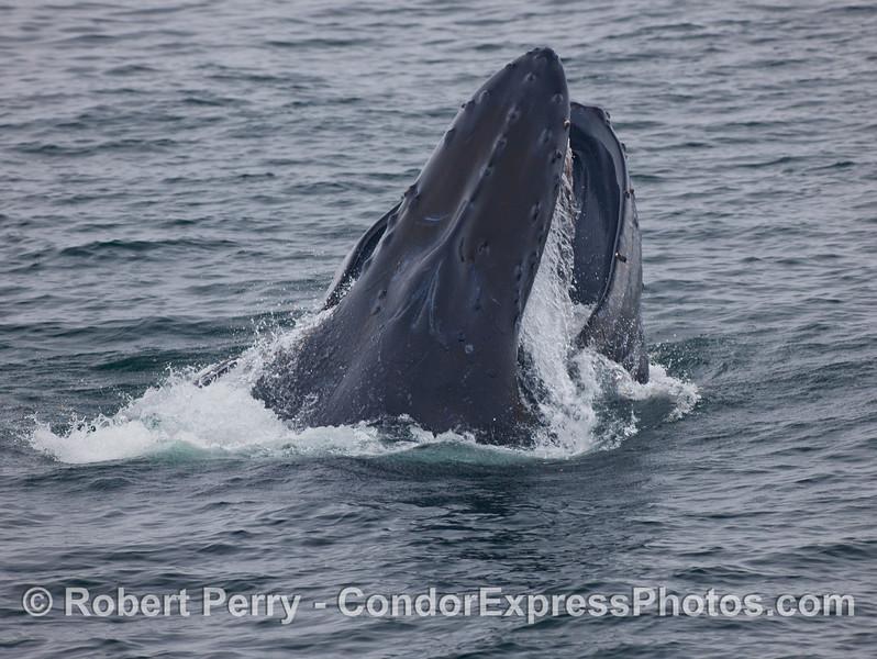 A big vertical lunge by a feeding Humpback Whale (Megaptera novaeangliae).