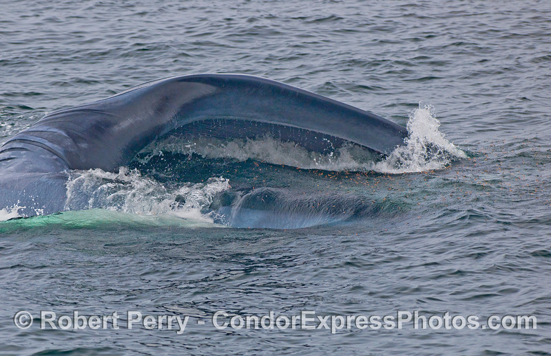 Further adventures of the lunge feeding Blue Whale (Balaenoptera musculus) seen in the previous photo.