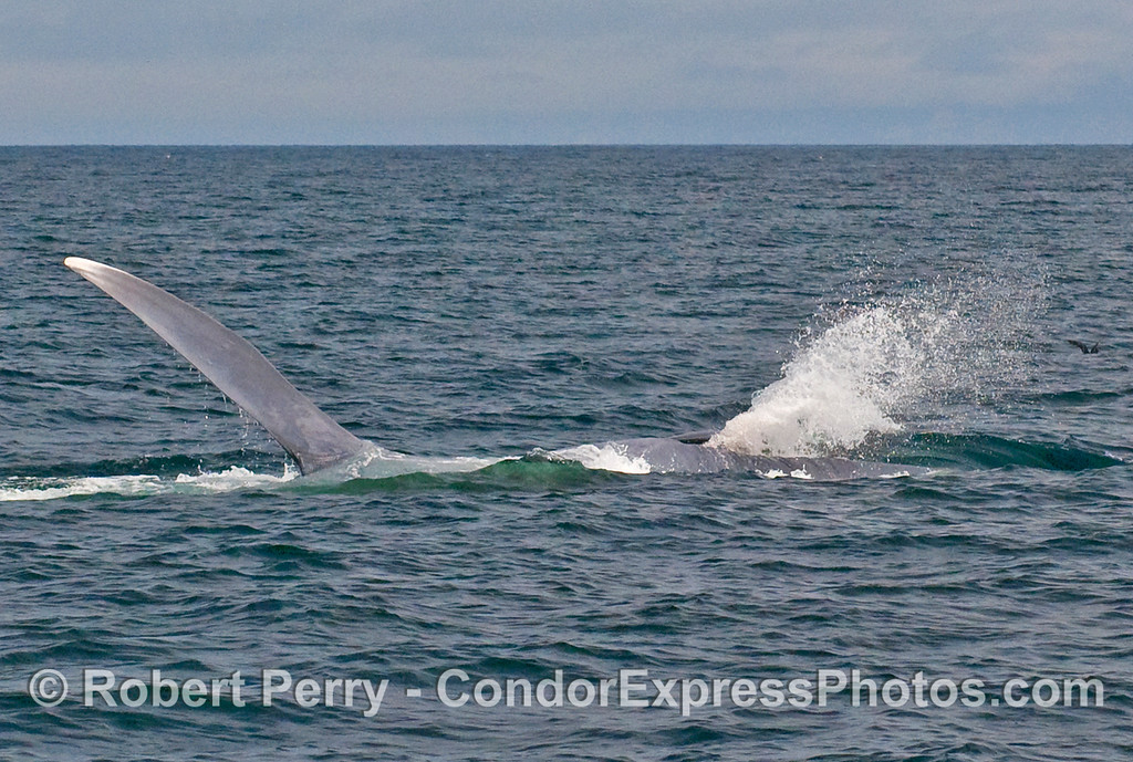Image sequence 6 - Vertical lunge feeding by a Blue Whale (Balaenoptera musculus)...water squirts out of baleen and mouth.
