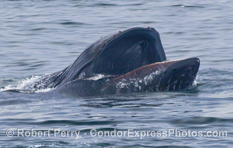 Humpback Whale (Megaptera novaeangliae) lunge...upside down.
