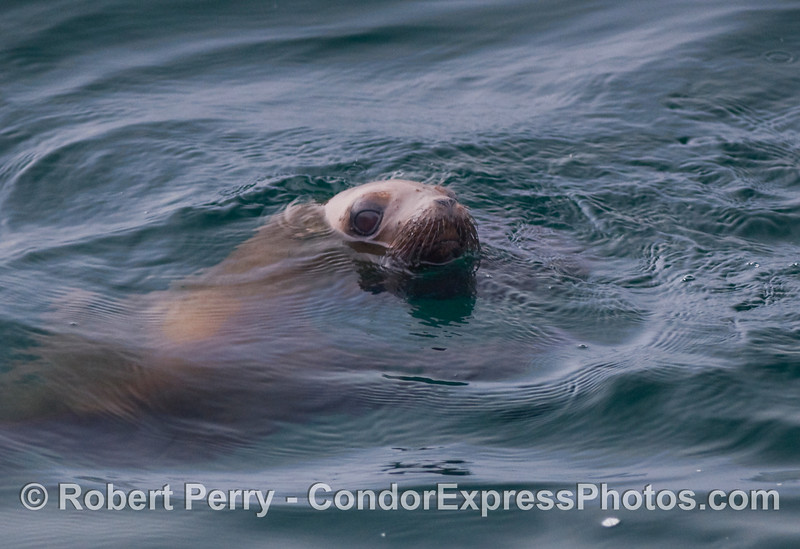 A shy California Sea Lion (Zalophus californianus) takes a peek at the whalers on board the Condor Express.