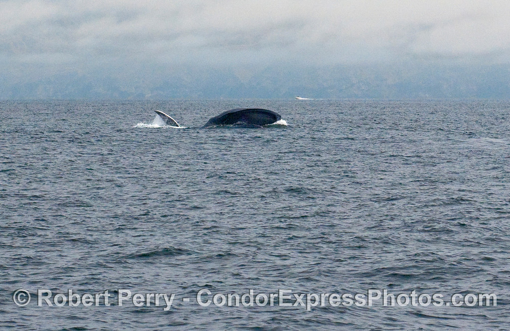 Distant shot 2 of 2 of a Blue Whale (Balaenoptera musculus) lunge feeding.