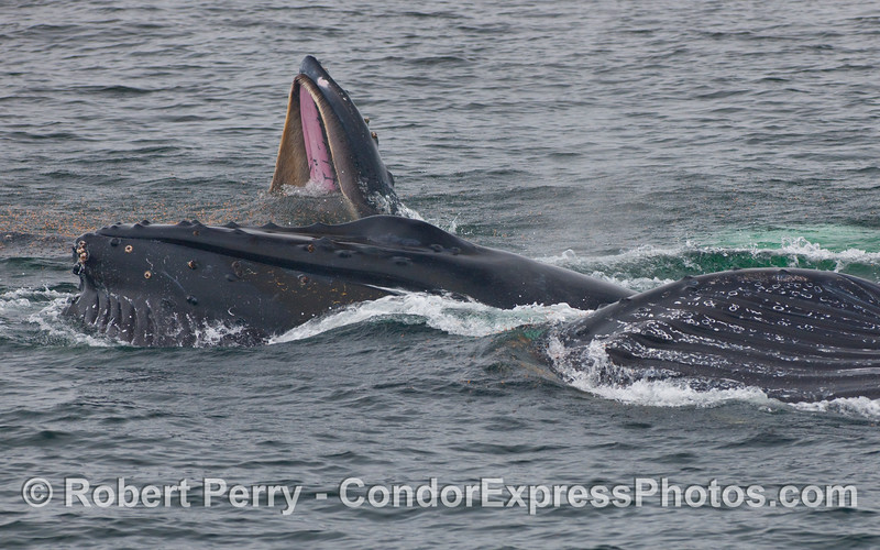 Three Humpback Whale (Megaptera novaeangliae) feeding.