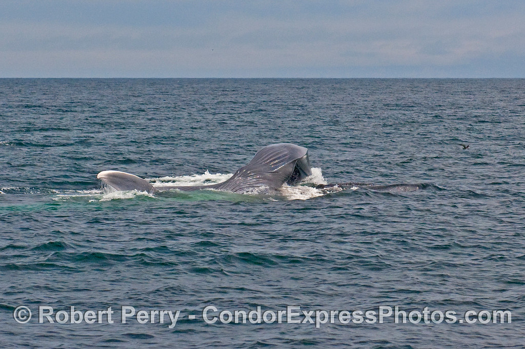 Image sequence 5 - Vertical lunge feeding by a Blue Whale (Balaenoptera musculus).