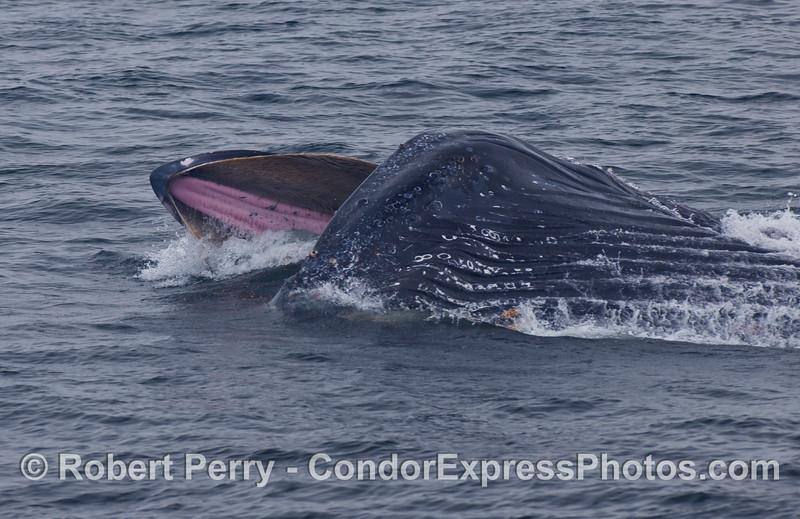 Humpback Whale (Megaptera novaeangliae) lunge...sideways.
