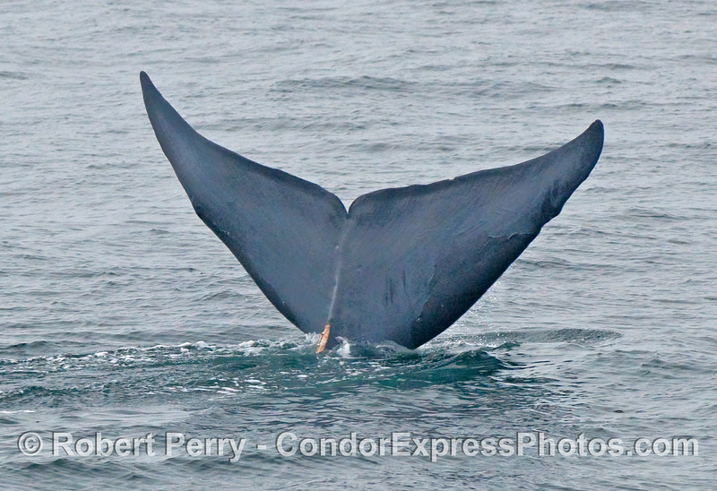 Blue Whale (Balaenoptera musculus) tail.