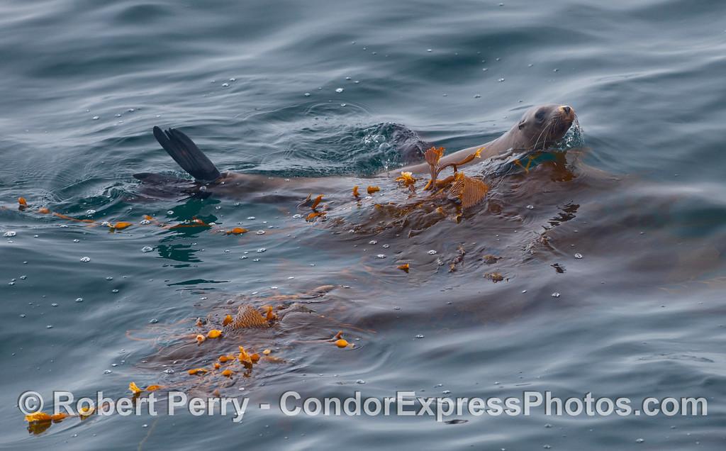 A cautious California Sea Lion (Zalophus californianus) hides in the drifting giant kelp (Macrocystis pyrifera).