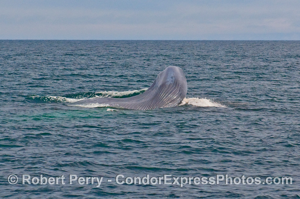 Image sequence 4 - Vertical lunge feeding by a Blue Whale (Balaenoptera musculus).