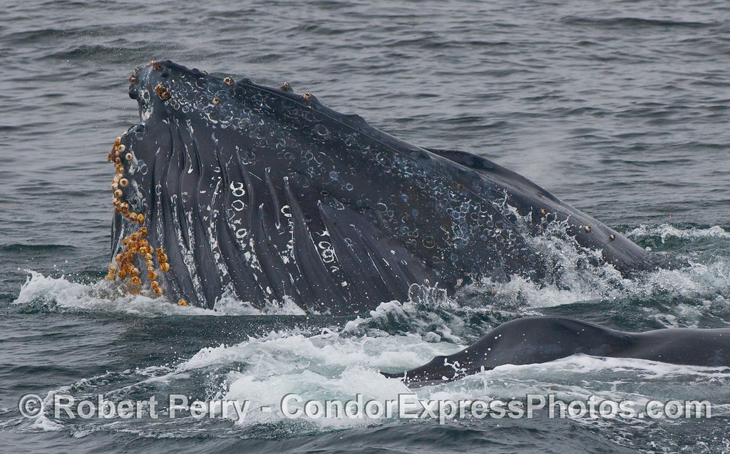 Two Humpback Whales (Megaptera novaeangliae), one doing a vertical lunge.