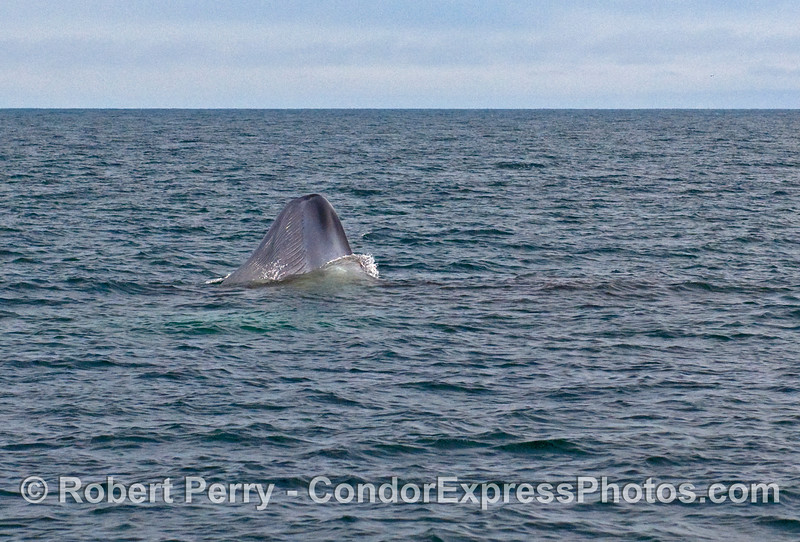 Image sequence 1 - Vertical lunge feeding by a Blue Whale (Balaenoptera musculus).