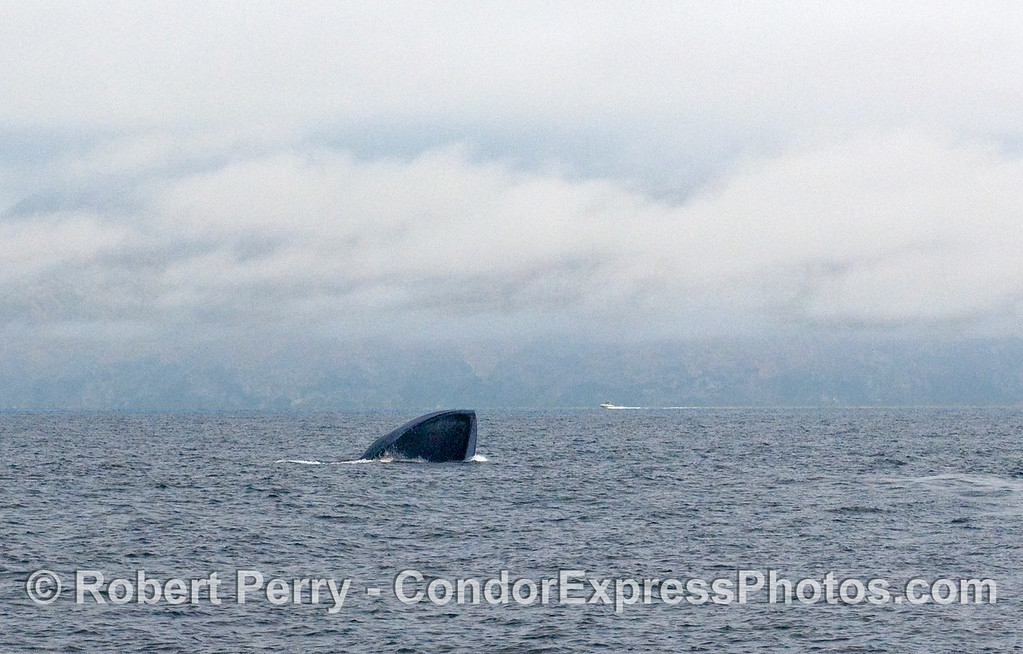 Distant shot 1 of 2 of a Blue Whale (Balaenoptera musculus) lunge feeding.