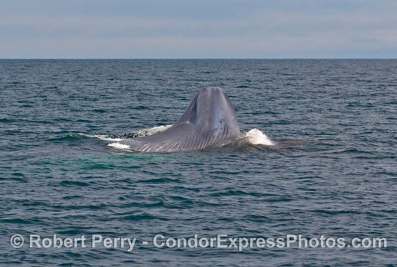Image sequence 3 - Vertical lunge feeding by a Blue Whale (Balaenoptera musculus).