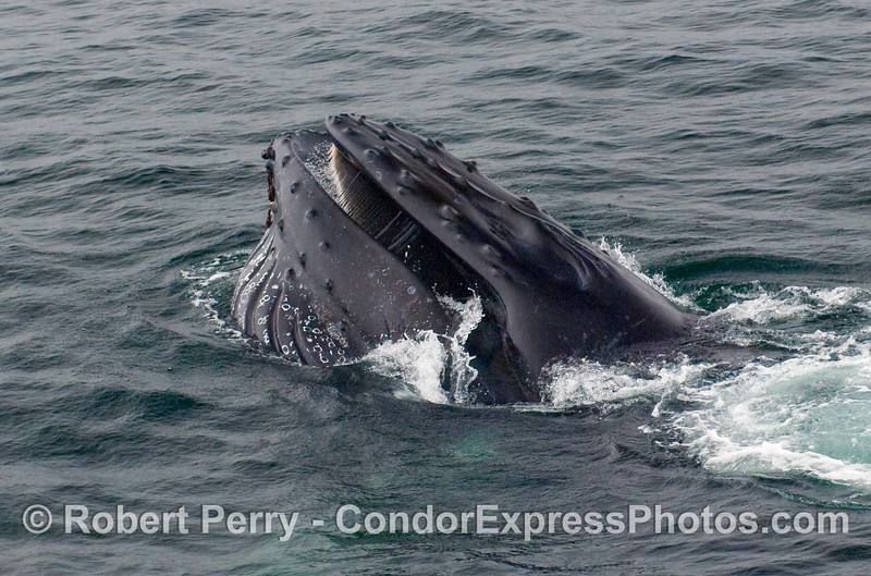 Humpback Whale (Megaptera novaeangliae) closing its mouth around a full pouch of water and krill.