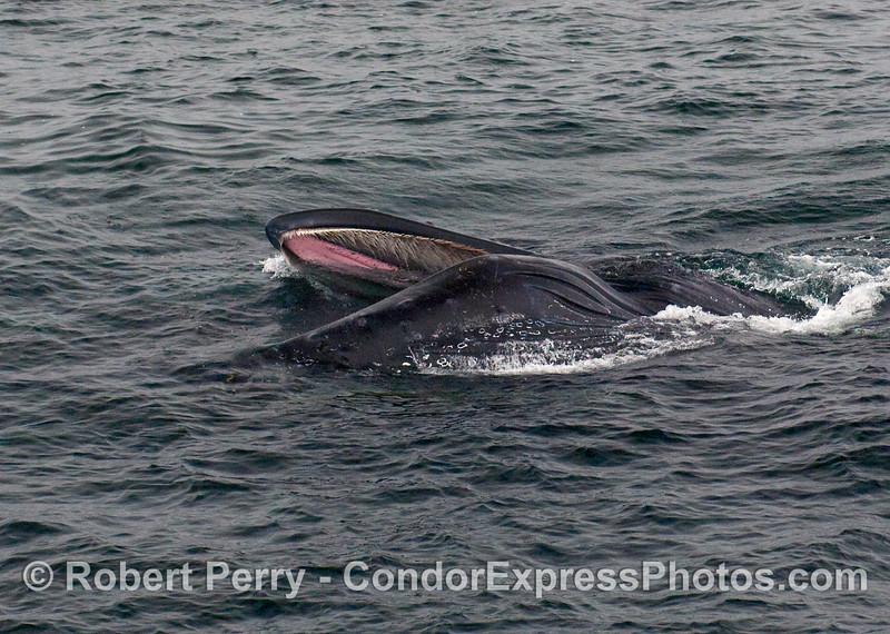 Humpback Whale (Megaptera novaeangliae) sideways lunge.