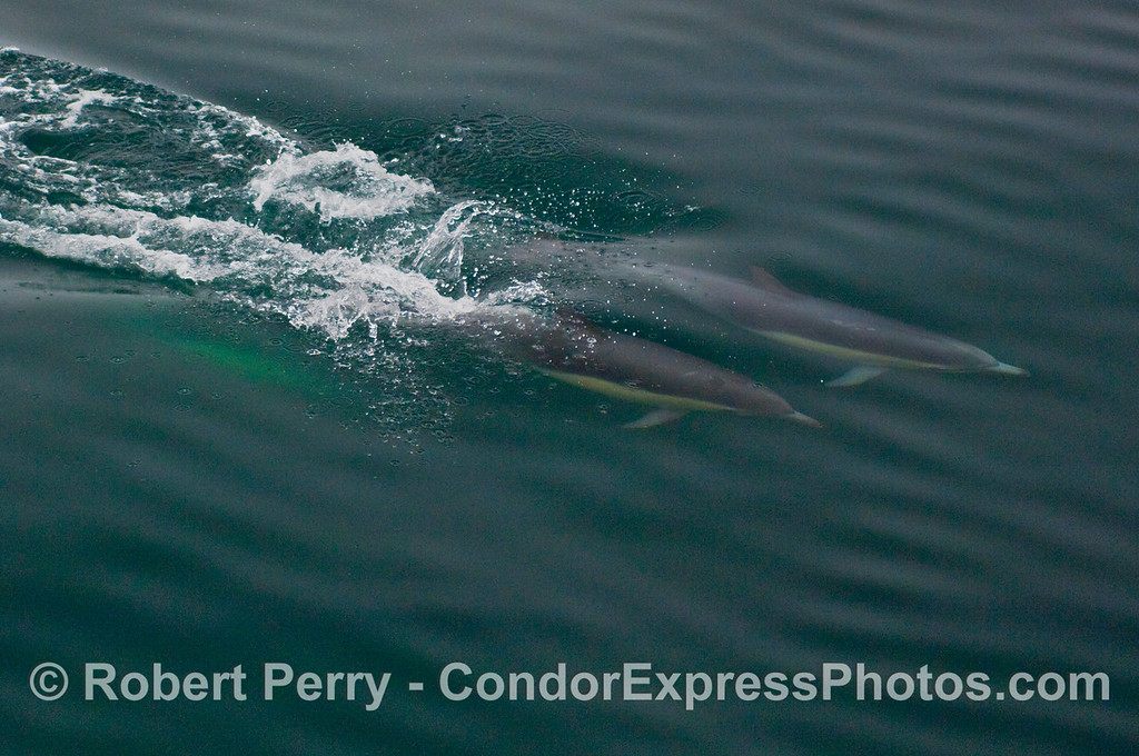 Torpedos rocket through the blue water -- Common Dolphins (Delphinus capensis).