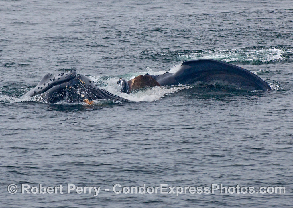 Two Humpback Whales (Megaptera novaeangliae) feeding:  one straight up and down, the other leaning on its right side.
