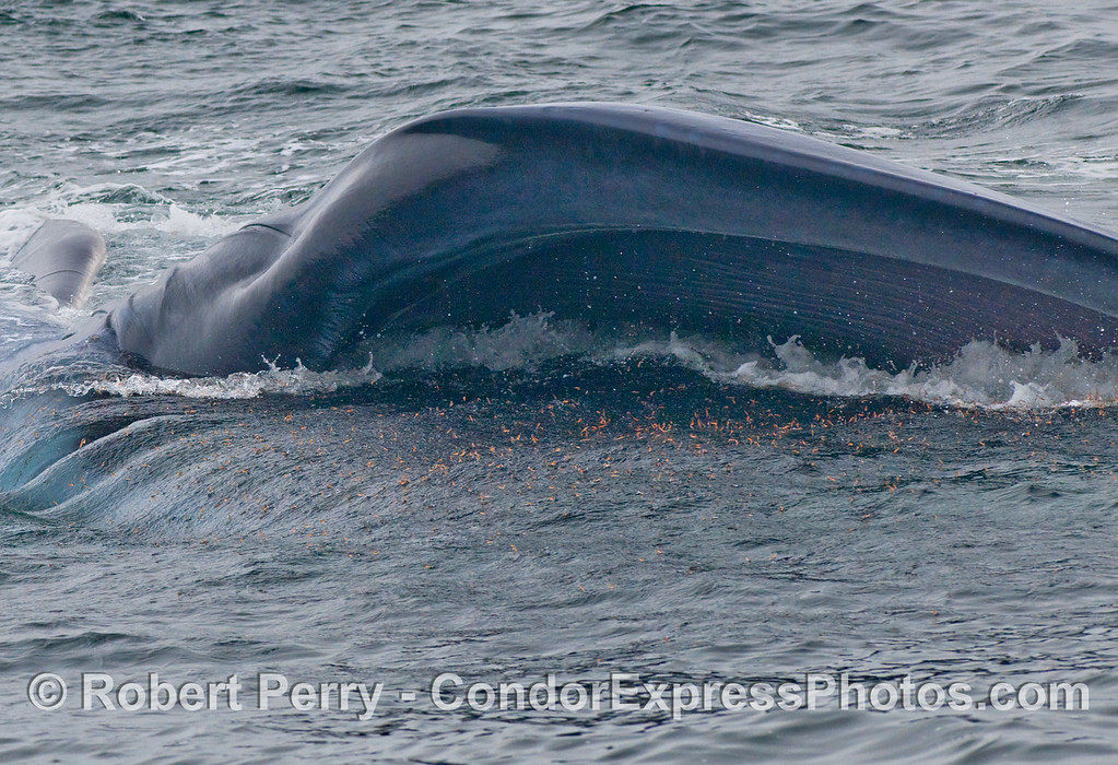 Close up look - krill popcorn and a Blue whale (Balaenoptera musculus) feeding upside down.