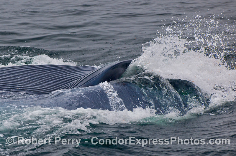 A massive ejection of water from the mouth of a Blue Whale (Balaenoptera musculus) as it collapses its ventral pleats and filters out the krill.