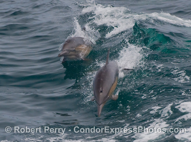 Two rambunctious Common Dolphins (Delphinus capensis) leap through the wake of the Condor Express.