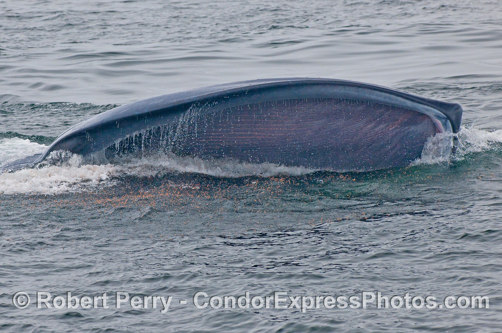 Krill can be seen popping on the surface as this upside down Blue Whale (Balaenoptera musculus) takes a gulp.