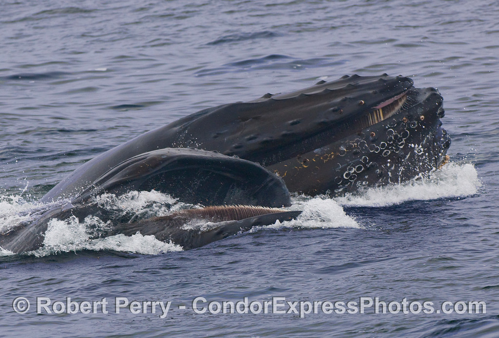 Side by side diners:  two Humpback Whales (Megaptera novaeangliae) lunge feed, one right side up, the other upside down.