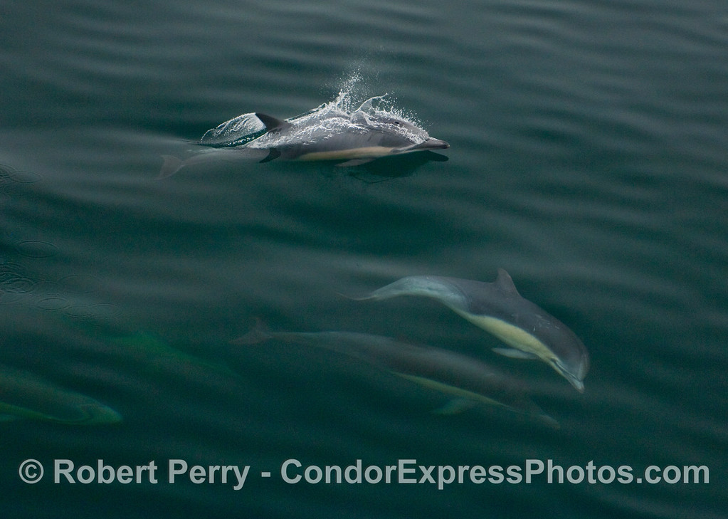 Long Beak Common Dolphins (Delphinus capensis) play in the clear, glassy water.