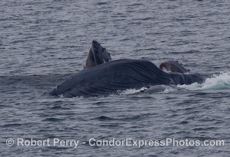 Three Humpback Whales (Megaptera novaeangliae) at various stags of lunge feeding.