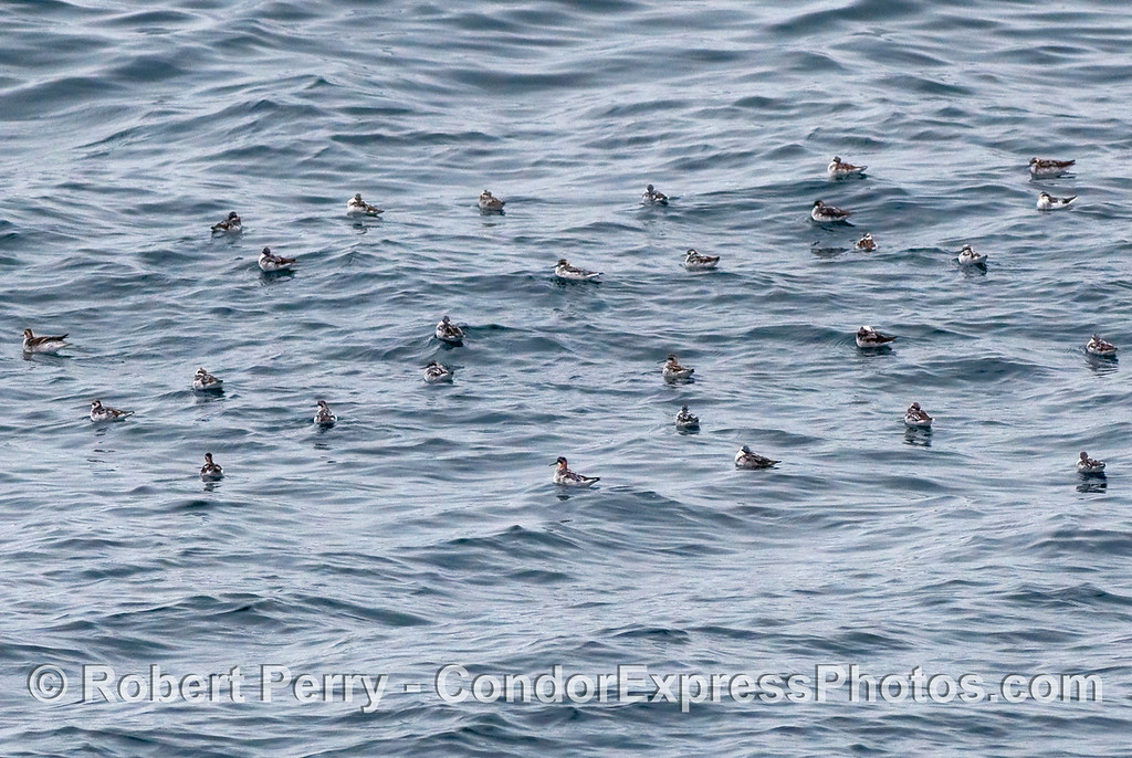 A flock of krill-fed Red Necked Phalaropes (Phalaropus lobatus) rest and preen on the water.