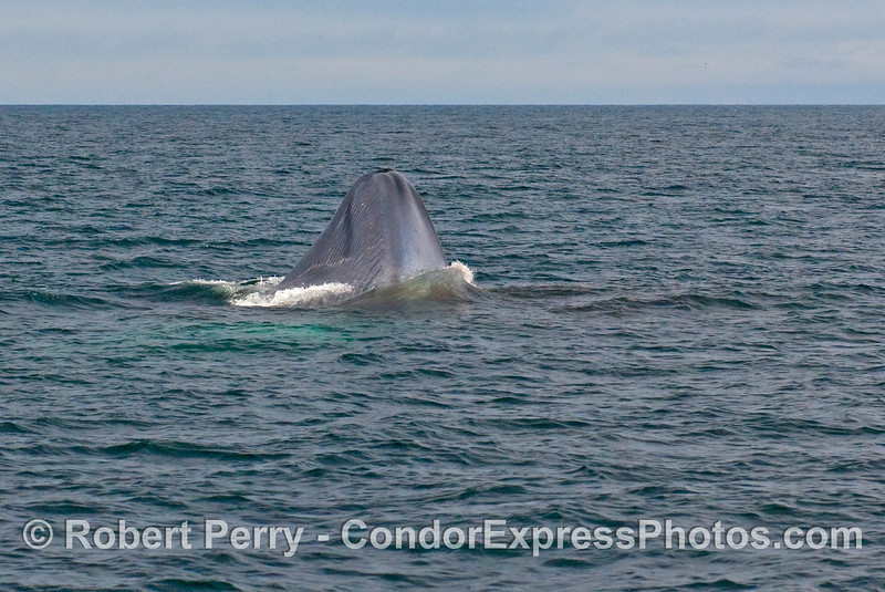 Image sequence 2 - Vertical lunge feeding by a Blue Whale (Balaenoptera musculus).