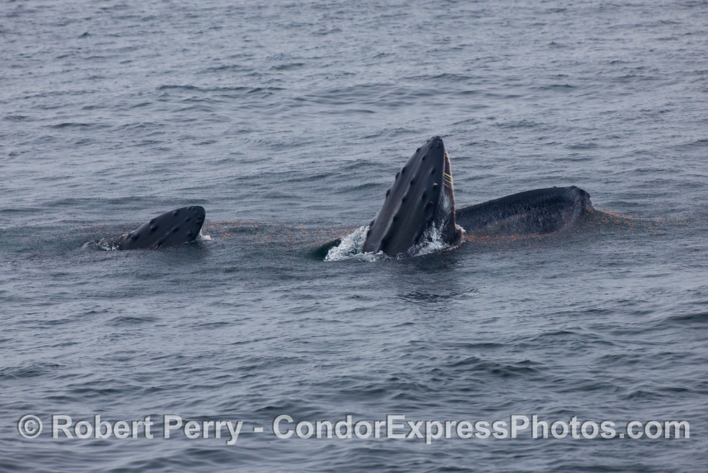 A cow-calf pair of Humpback Whales (Megaptera novaeangliae) share a meal.