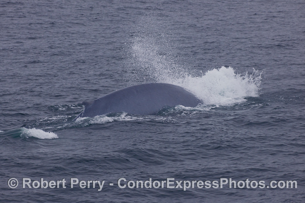 Here's that same Blue Whale (Balaenoptera musculus) that we've been seeing -- it lets loose blast of air everytime it starts its deep dive.