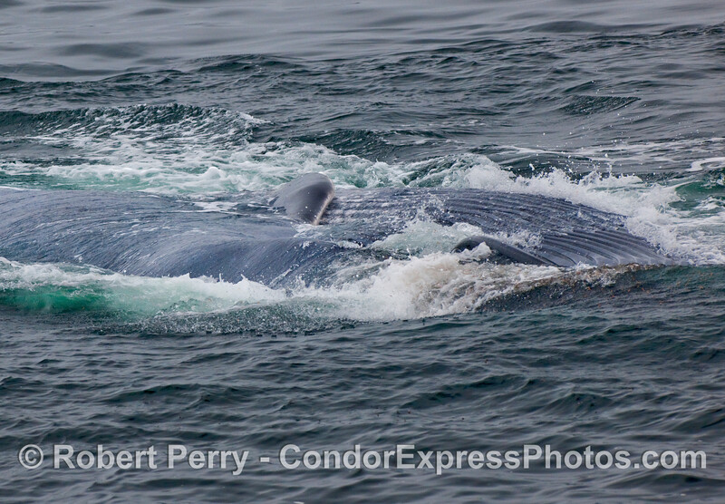 A Blue Whale (Balaenoptera musculus) lays on its right side with a greatly expanded ventral pouch.