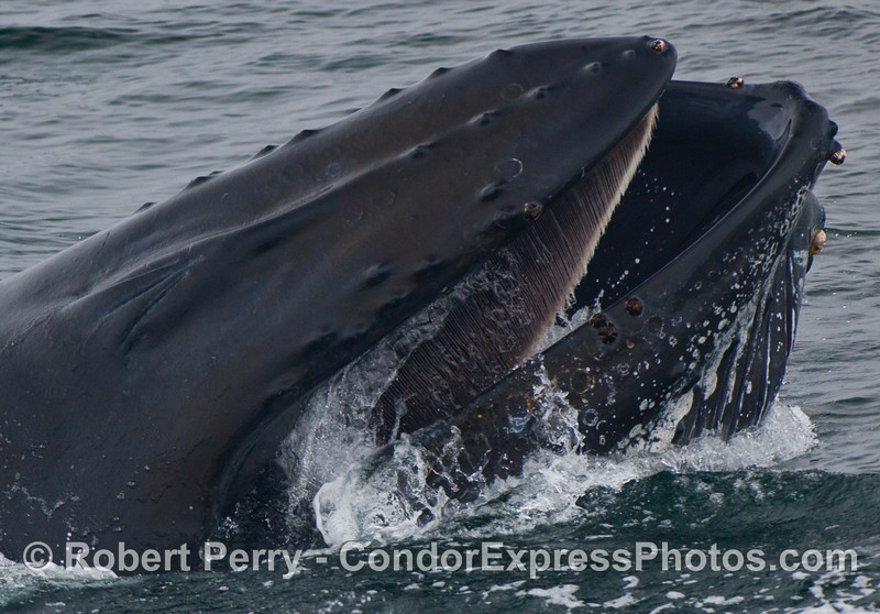 Mouth and baleen with water pouring out the corner of the lips - Humpback Whale (Megaptera novaeangliae).
