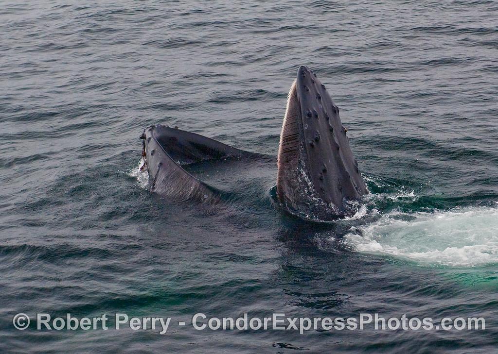 Humpback Whale (Megaptera novaeangliae) feeding, mouth agape.