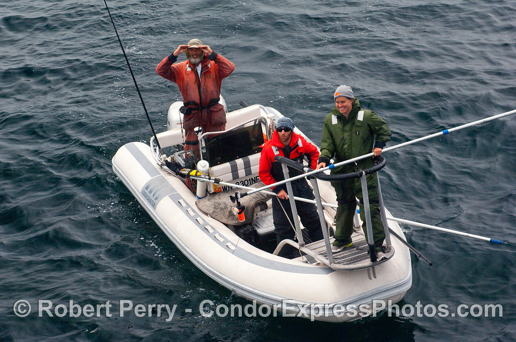 John Calambokidis (at the helm) and his research team in their inflatible research vessel out tagging whales in the Santa Barbara Channel.