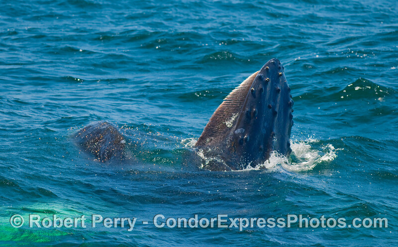 A slightly more vertical angle to a lunge feeding Humpback Whale (Megaptera novaeangliae).