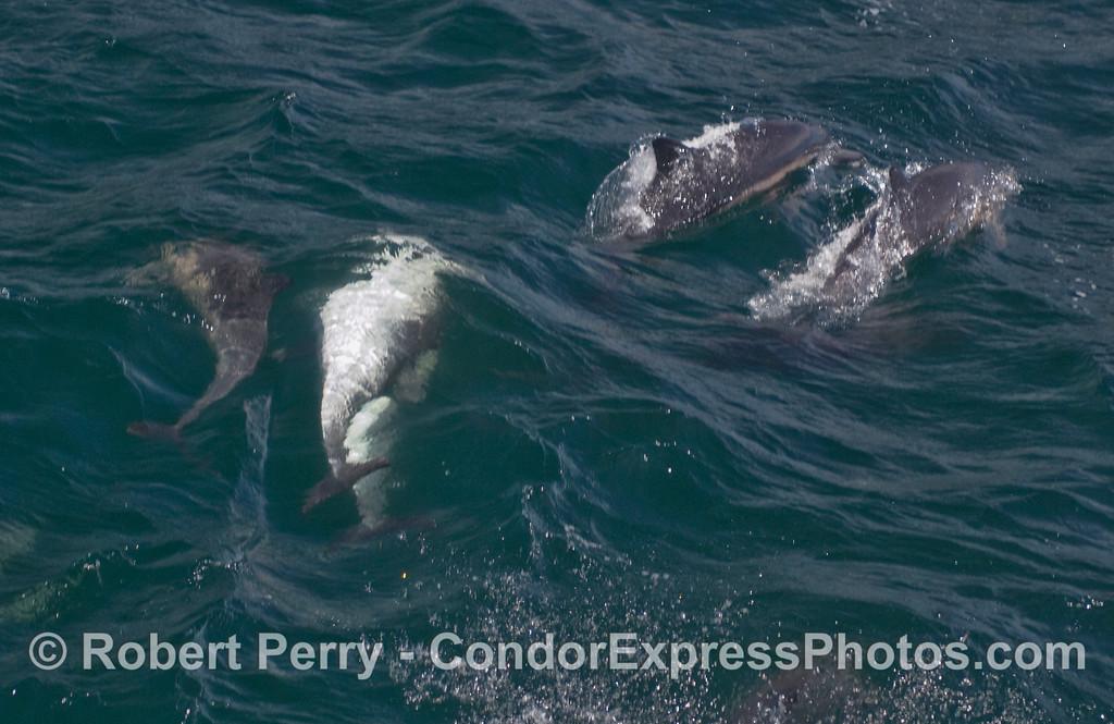 Common Dolphins (Delphinus capensis) foolin' around  underwater.