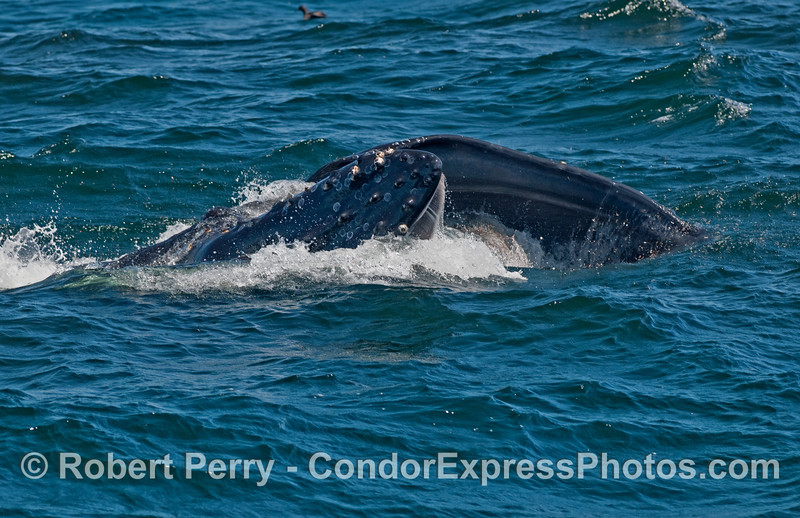 Mouth agape, this Humpback Whale (Megaptera novaeangliae) is closing in on a nice bite of krill.