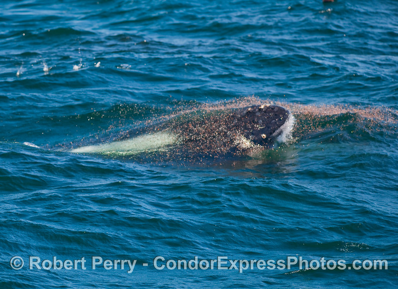 Head of a Humpback Whale (Megaptera novaeangliae) just begins to break the surface amidst a concentration of krill.